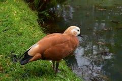 Brown et Duck Ready noir pour prendre le plongeon images libres de droits