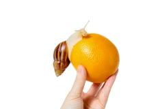 Brown et escargot réuni par blanc avec l'orange Images stock
