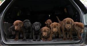 Brown et labrador retriever noir, chiots dans le tronc d'une voiture, Normandie en France, mouvement lent clips vidéos