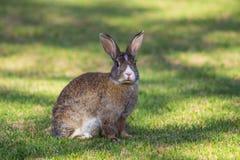 Brown et lapin blanc mangeant la carotte Image stock