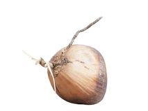 Brown et noix de coco antique Photos stock