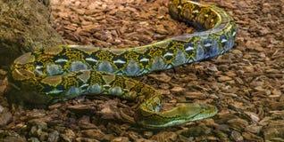 Brown et python réticulé jaune rampant au-dessus de la terre, grand serpent populaire d'Asie photos stock