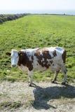 Brown et vache blanche sur le coasttif de kerry Images libres de droits