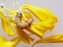 Brown et ver ou chenille noir mangeant des pétales de fleur jaune de souci à l'arrière-plan Photos stock