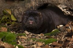 Free Brown European Mink Or Nerts From A Fur Farm In An Autumn Forest Landscape Stock Images - 198605644