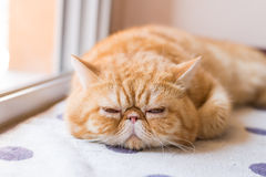 Brown Exotic shorthair cat, focusing in the foreground Royalty Free Stock Photos