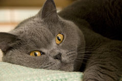 Brown-eyed cat Stock Images