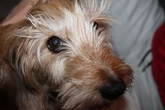 Brown Eyed Fury Dog. Lovely brown eyed fury dog. Stairing into your eyes royalty free stock photography