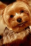 Brown Eyed il cane immagine stock