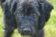 Brown Eyed o cão Fotografia de Stock Royalty Free