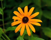 Brown eyed Susan Stock Images