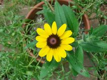 Brown Eyed Susan (2176X1632) Barry F. Long Photography. Rudbeckia Serotina variety. a beautiful single bloom wildflower in a pot on the walkway wall of our home Royalty Free Stock Photo
