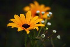 Brown-eyed-Susan Royalty Free Stock Photo