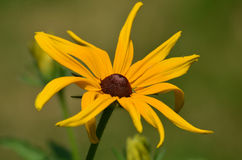 Brown-Eyed Susan Flower Blooming Stock Photography