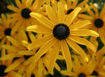 Brown Eyed Susan Flowers Foto de Stock
