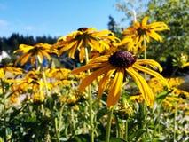 Brown Eyed Susan Flowers Imagens de Stock