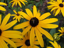 Brown eyed susan garden with bee. A small bee on a brown eyed susan flower Royalty Free Stock Photo