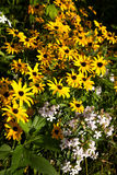 Brown Eyed Susan Royalty Free Stock Photography