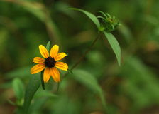Brown eyed susan Rudbeckia triloba. Brown-Eyed Susan, Branched Coneflower, Thin-Leaved Coneflower and Three-Lobed Coneflower Royalty Free Stock Image