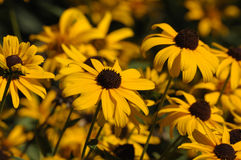 Brown Eyed Susans Fotografia Stock