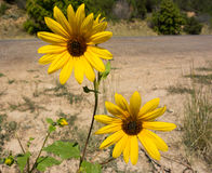 Brown-eyed susans in the summertime Royalty Free Stock Photo