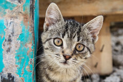 Brown eyed tabby kitten stock photography
