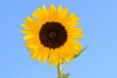 Sunflower in Blue Sky. Brown Eyed Yellow Petal Sunflower in blue sky background Stock Image
