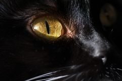 Brown eyes black cat. Close-up Royalty Free Stock Photo