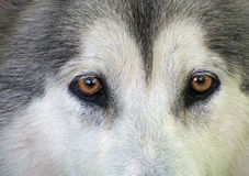 Brown eyes of gray dog Stock Photography