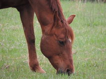 Brown eyes. Horse eating grass  in the summeri Royalty Free Stock Photography
