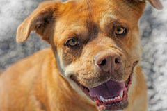 Brown face of an animal rescue dog Royalty Free Stock Photos