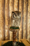 Brown-faced Owl. A beautiful barn owl perched on a tree stump Stock Photo