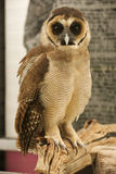 Brown faced owl Stock Photography