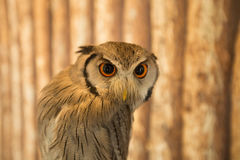 Brown-faced Owl. Wooden background Stock Image