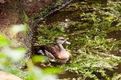 Brown a fait varier le pas de la natation femelle de canard du côté d'un étang Images libres de droits
