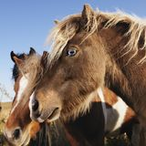 Brown Falabella miniature horses. Profile portrait of two brown Falabella miniature horses in field Royalty Free Stock Images