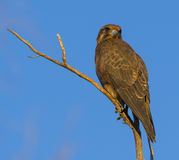 Brown falcon Royalty Free Stock Photo