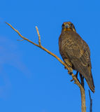 Brown falcon Royalty Free Stock Images