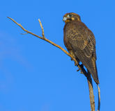 Brown falcon Royalty Free Stock Photos