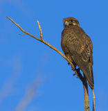 Brown falcon Stock Images