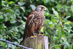 Brown Falcon on Brown Wooden Surface Royalty Free Stock Photography