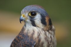 Brown Falcon or Hawk Head Royalty Free Stock Photos