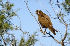 Brown falcon Stock Image