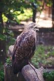 Brown-Falke, der auf einem Baum im Zoo sitzt Lizenzfreies Stockfoto