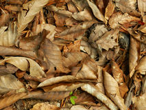 Brown fall leaves Royalty Free Stock Photography
