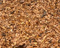 Brown fall`s leaves Royalty Free Stock Photo