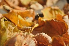 Brown fallen autumn leaves on the ground Royalty Free Stock Photo