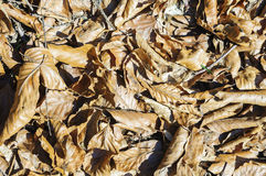 Brown fallen leaves on the ground. Stock Photo