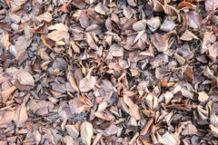 Brown fallen leaves laying Stock Images