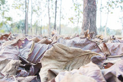Brown fallen leaves Royalty Free Stock Photos